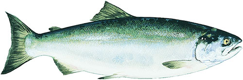 Copper River Sockeye Salmon