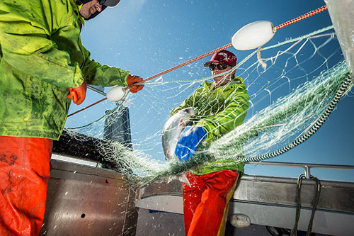 Two Fishermen Pulling Salmon From Large Net